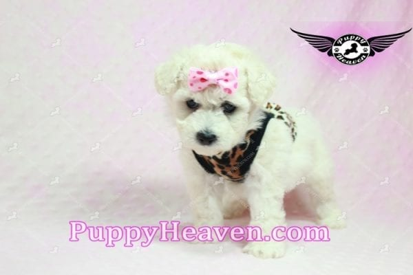 Rachel Green - Teacup Maltipoo Puppy in Los Angeles Found A New Loving Home With claudia From Granada Hills Ca 91344-9252
