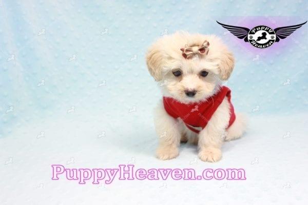Ross Geller - Teacup Maltipoo Puppy Found A New Loving Home -9261