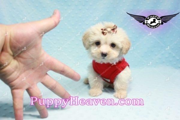Ross Geller - Teacup Maltipoo Puppy Found A New Loving Home -9256