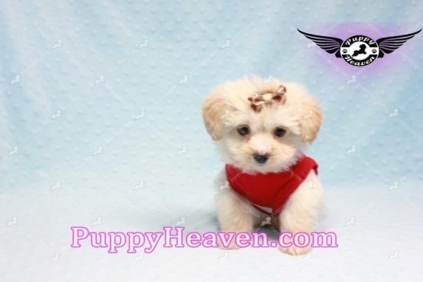 Ross Geller - Teacup Maltipoo Puppy Found A New Loving Home -9264