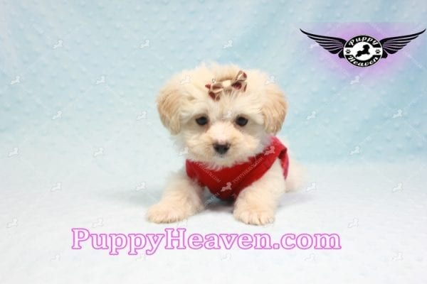 Ross Geller - Teacup Maltipoo Puppy Found A New Loving Home -9259