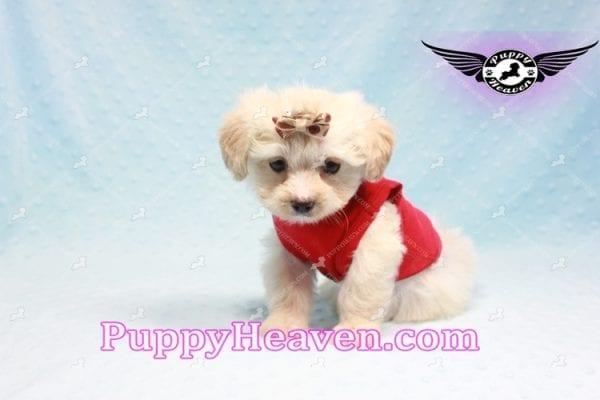 Ross Geller - Teacup Maltipoo Puppy Found A New Loving Home -9258