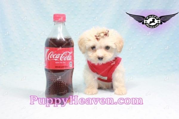 Ross Geller - Teacup Maltipoo Puppy Found A New Loving Home -0