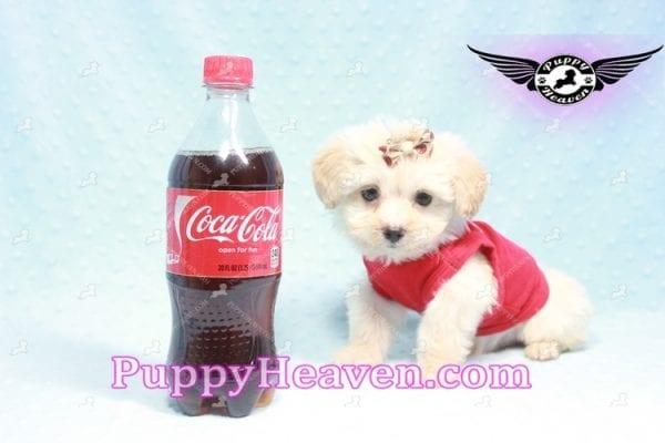 Ross Geller - Teacup Maltipoo Puppy Found A New Loving Home -9260