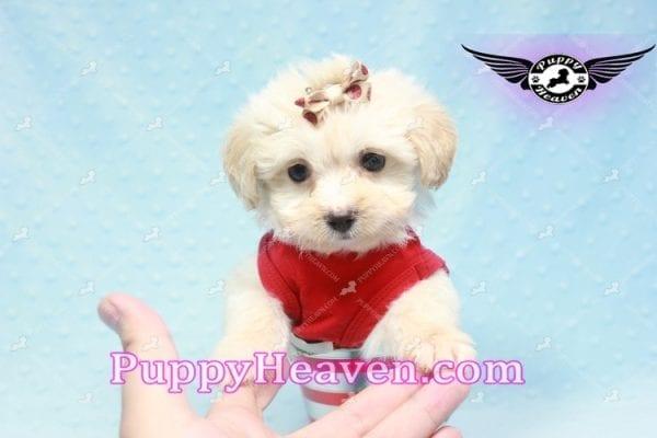 Ross Geller - Teacup Maltipoo Puppy Found A New Loving Home -9255