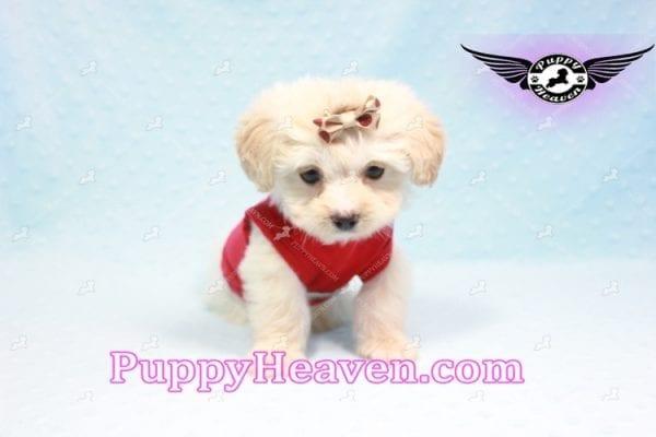 Ross Geller - Teacup Maltipoo Puppy Found A New Loving Home -9263