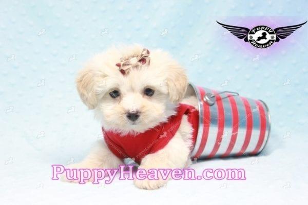 Ross Geller - Teacup Maltipoo Puppy Found A New Loving Home -9257
