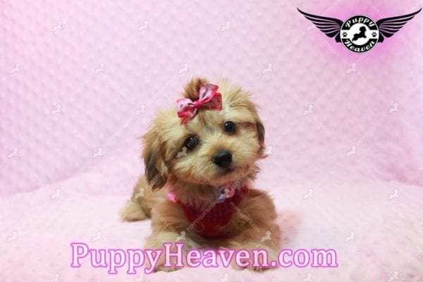 Ruby Rose - Toy Maltipoo Puppy in Las Vegas found a loving home with Heather in Idaho, 83656-9200