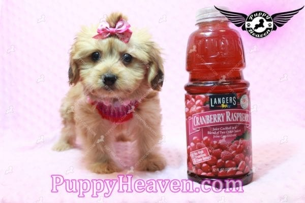 Ruby Rose - Toy Maltipoo Puppy in Las Vegas found a loving home with Heather in Idaho, 83656-0