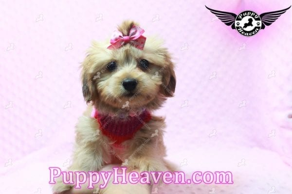 Ruby Rose - Toy Maltipoo Puppy in Las Vegas found a loving home with Heather in Idaho, 83656-9196