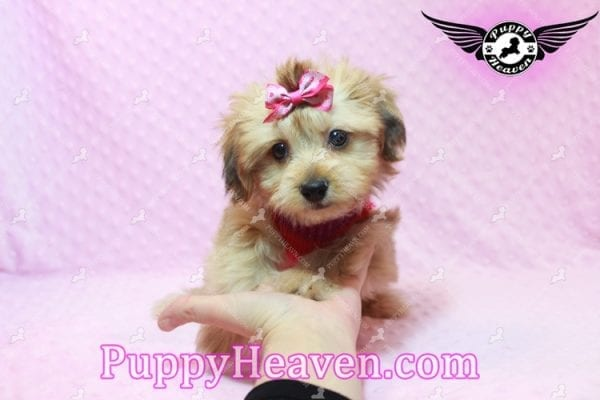 Ruby Rose - Toy Maltipoo Puppy in Las Vegas found a loving home with Heather in Idaho, 83656-9198