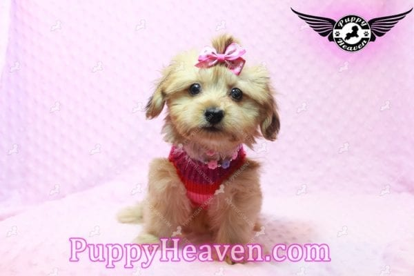Ruby Rose - Toy Maltipoo Puppy in Las Vegas found a loving home with Heather in Idaho, 83656-9199