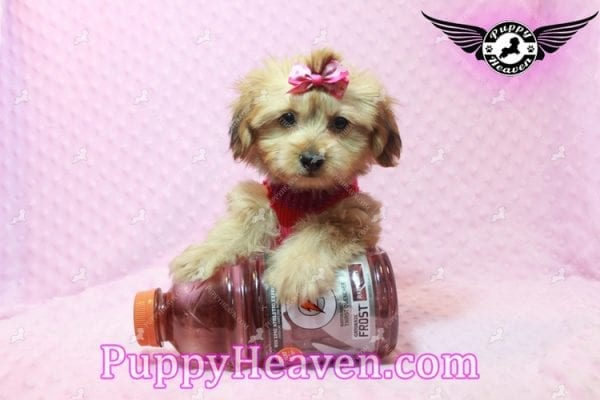 Ruby Rose - Toy Maltipoo Puppy in Las Vegas found a loving home with Heather in Idaho, 83656-9197