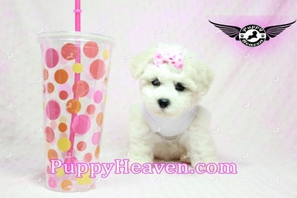 Selena Gomez - Teacup Maltipoo Puppy in Los Angeles found A new Loving Home -9281