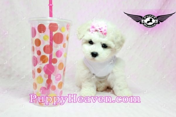 Selena Gomez - Teacup Maltipoo Puppy in Los Angeles found A new Loving Home -9282