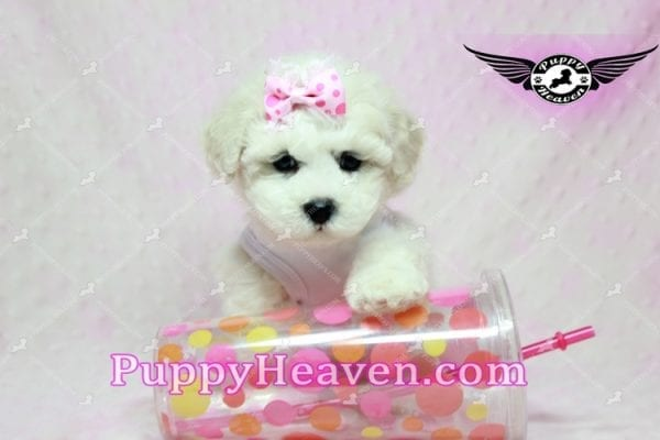 Selena Gomez - Teacup Maltipoo Puppy in Los Angeles found A new Loving Home -9278