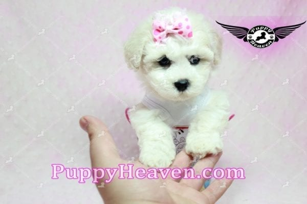 Selena Gomez - Teacup Maltipoo Puppy in Los Angeles found A new Loving Home -9273