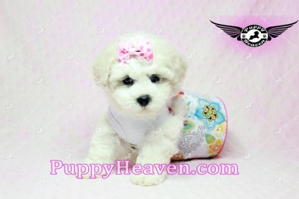 Selena Gomez - Teacup Maltipoo Puppy in Los Angeles found A new Loving Home -0