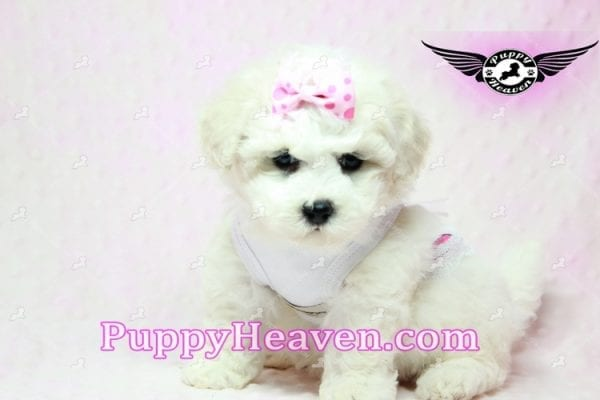 Selena Gomez - Teacup Maltipoo Puppy in Los Angeles found A new Loving Home -9275