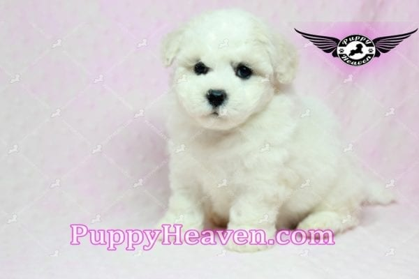 Selena Gomez - Teacup Maltipoo Puppy in Los Angeles found A new Loving Home -9276
