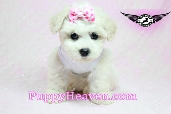 Selena Gomez - Teacup Maltipoo Puppy in Los Angeles found A new Loving Home -9279