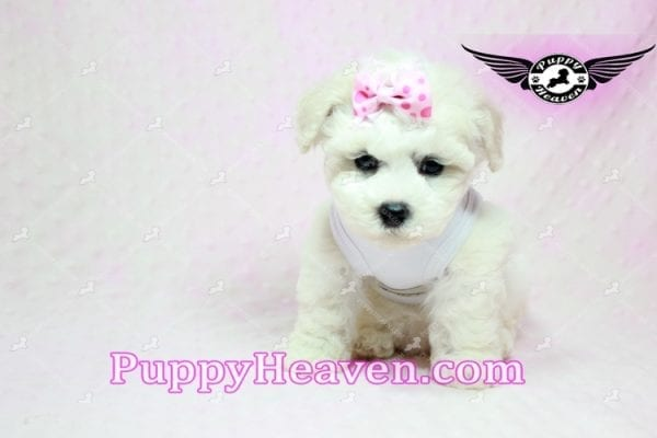 Selena Gomez - Teacup Maltipoo Puppy in Los Angeles found A new Loving Home -9277