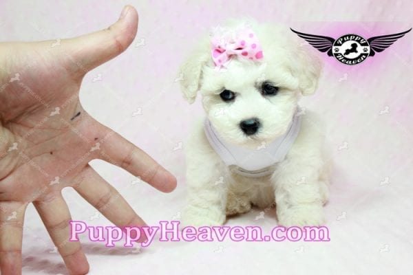 Selena Gomez - Teacup Maltipoo Puppy in Los Angeles found A new Loving Home -9280