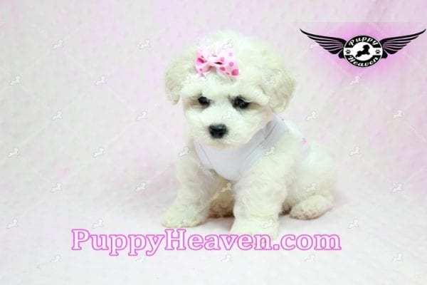 Selena Gomez - Teacup Maltipoo Puppy in Los Angeles found A new Loving Home -9283