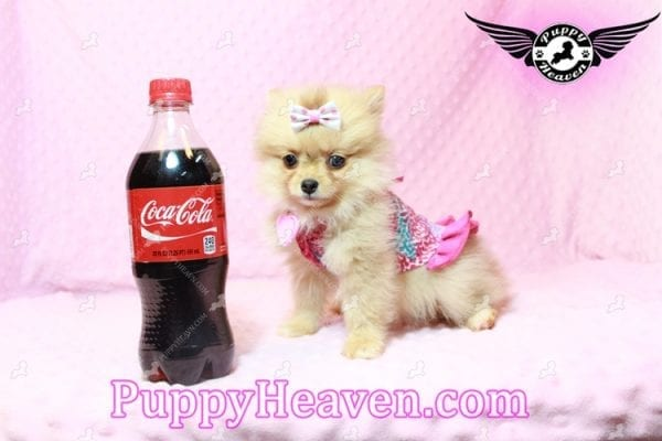 Sofia The First - Tiny Teacup Pomeranian Puppy Has Found A Loving Home in CA!-0