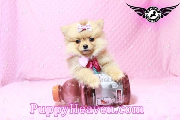 Sofia The First - Tiny Teacup Pomeranian Puppy Has Found A Loving Home in CA!-9528