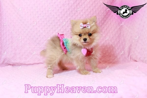 Sofia The First - Tiny Teacup Pomeranian Puppy Has Found A Loving Home in CA!-9530