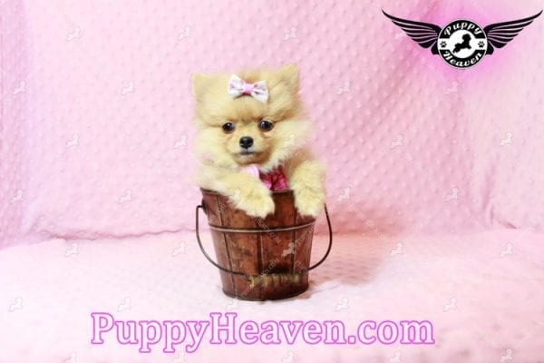 Sofia The First - Tiny Teacup Pomeranian Puppy Has Found A Loving Home in CA!-9529