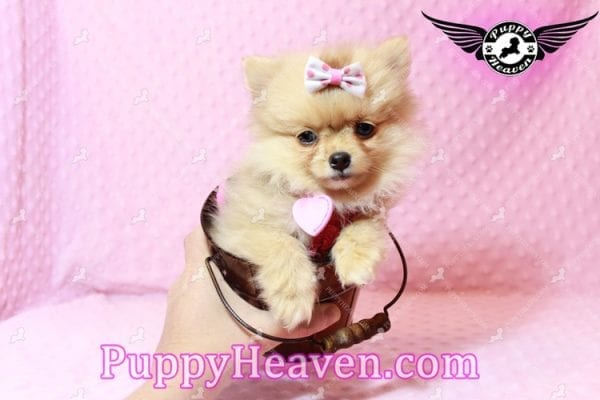 Sofia The First - Tiny Teacup Pomeranian Puppy Has Found A Loving Home in CA!-9534