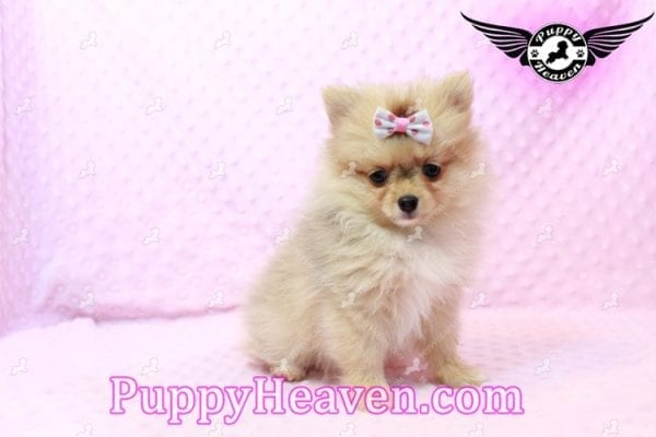 Sofia The First - Tiny Teacup Pomeranian Puppy Has Found A Loving Home in CA!-9527
