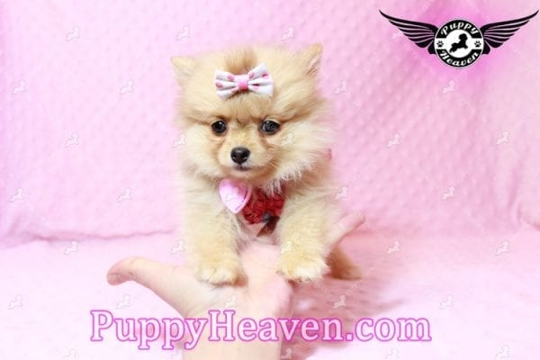 Sofia The First - Tiny Teacup Pomeranian Puppy Has Found A Loving Home in CA!-9533