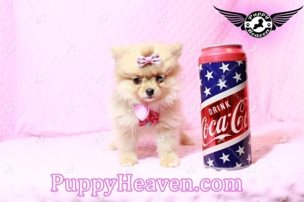 Sofia The First - Tiny Teacup Pomeranian Puppy Has Found A Loving Home in CA!-9531