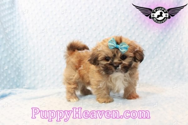 Tony Stark - Teacup Shih Tzu Puppy has found a good loving home with Steffnie & Glenda from North Las Vegas NV 89031-9421