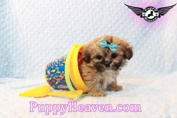 Tony Stark - Teacup Shih Tzu Puppy has found a good loving home with Steffnie & Glenda from North Las Vegas NV 89031-9415