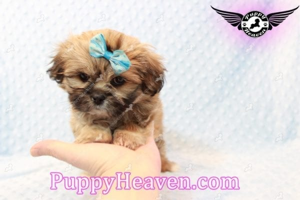 Tony Stark - Teacup Shih Tzu Puppy has found a good loving home with Steffnie & Glenda from North Las Vegas NV 89031-9422