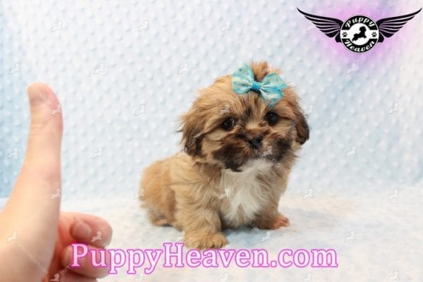 Tony Stark - Teacup Shih Tzu Puppy has found a good loving home with Steffnie & Glenda from North Las Vegas NV 89031-9416