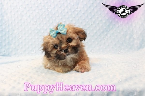 Tony Stark - Teacup Shih Tzu Puppy has found a good loving home with Steffnie & Glenda from North Las Vegas NV 89031-9419