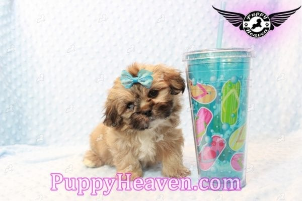Tony Stark - Teacup Shih Tzu Puppy has found a good loving home with Steffnie & Glenda from North Las Vegas NV 89031-9418