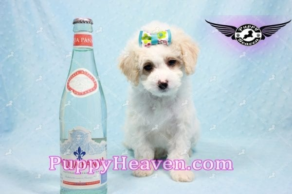 George Clooney - Toy Maltipoo puppy has found a good loving home with Sonny from Las Vegas, NV 89183-0
