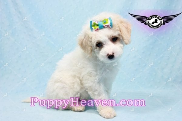 George Clooney - Toy Maltipoo puppy has found a good loving home with Sonny from Las Vegas, NV 89183-9765