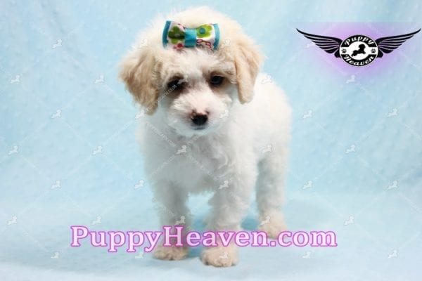George Clooney - Toy Maltipoo puppy has found a good loving home with Sonny from Las Vegas, NV 89183-9761