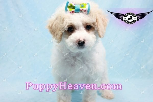 George Clooney - Toy Maltipoo puppy has found a good loving home with Sonny from Las Vegas, NV 89183-9763