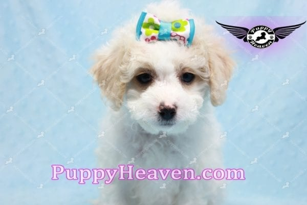 George Clooney - Toy Maltipoo puppy has found a good loving home with Sonny from Las Vegas, NV 89183-9764