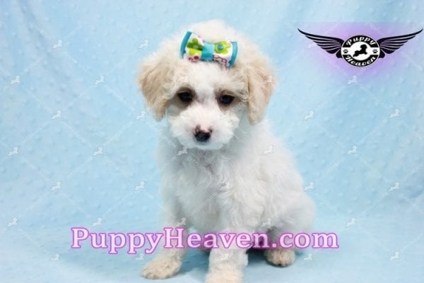 George Clooney - Toy Maltipoo puppy has found a good loving home with Sonny from Las Vegas, NV 89183-9766