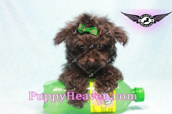 Denzel Washington - Maltipoo Puppy Fund His Loving Home with Debbie from Beverly Hills CA 90210-9754