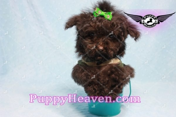 Denzel Washington - Maltipoo Puppy Fund His Loving Home with Debbie from Beverly Hills CA 90210-9755